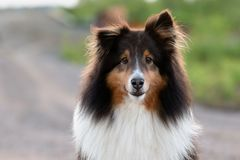 Shetland Sheepdog Outside in the Summer at Sunset royalty free stock photos
