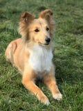 Shetland Sheepdog på det gröna gräset royaltyfria bilder