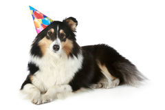 Shetland sheepdog with party hat Royalty Free Stock Photo