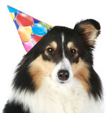 Shetland sheepdog with party hat. Shetland sheepdog with birthday party hat on a white background stock photos