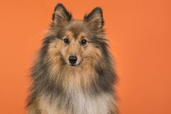 Shetland sheepdog portait on an orange background. Looking at the camera Royalty Free Stock Photo