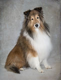 Shetland Sheepdog Portrait Royalty Free Stock Images