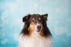 Shetland Sheepdog Pracowniany portret na tle zdjęcie stock