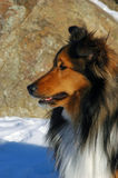Shetland Sheepdog profile. A portrait of shaded mahogany sable Sheltie looking left out of frame against backdrop of brown rock in snow sunny winter Royalty Free Stock Photo