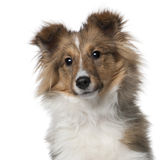 Shetland Sheepdog puppy, 5 months old. In front of white background stock image