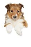 Shetland sheepdog puppy above banner. On white background Stock Image