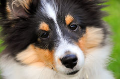 Shetland sheepdog puppy close-up Stock Images