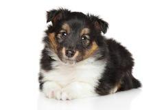Shetland sheepdog puppy Royalty Free Stock Photo