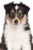 Shetland Sheepdog Puppy portrait Stock Photo