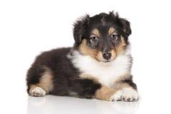 Shetland Sheepdog puppy portrait Royalty Free Stock Photo