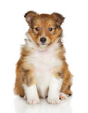 Shetland sheepdog puppy. Sits in front of white background Stock Photography