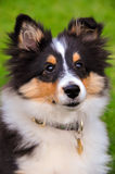Shetland sheepdog puppy sitting Stock Image