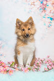 Shetland sheepdog puppy sitting Stock Photos