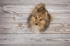 Shetland sheepdog seen from above looking up on a brown wooden floor. Adult shetland sheepdog seen from above looking up on a brown wooden floor Royalty Free Stock Images