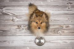 Shetland sheepdog seen from above sitting and looking up on a brown wooden planks floor with an empty feeding bowl in front. Adult shetland sheepdog seen from Royalty Free Stock Images