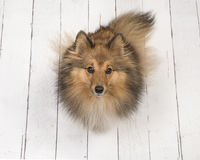 Shetland sheepdog seen from above sitting and looking up on a white wooden planks floor Stock Photo