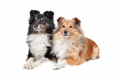 Shetland Sheepdog, Sheltie Royalty Free Stock Images