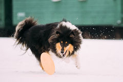 Shetland Sheepdog, Sheltie, Collie Dog Playing With Ring And Fast Stock Image