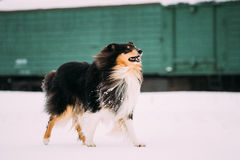 Shetland Sheepdog, Sheltie, Collie Dog Playing With Ring And Fast Royalty Free Stock Photography