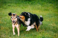 Shetland Sheepdog, Sheltie, Collie Play With Mixed Breed Medium Stock Photos