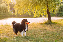 Shetland Sheepdog, Sheltie, Collie. Play Outdoor In Summer Grass Royalty Free Stock Photography