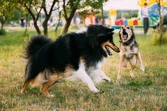 Shetland Sheepdog, Sheltie, Collie. Play Outdoor In Summer Grass Royalty Free Stock Photos