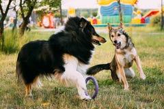 Shetland Sheepdog, Sheltie, Collie. Play Outdoor In Summer Grass Stock Photos