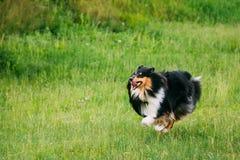 Shetland Sheepdog, Sheltie, Collie. Play Outdoor In Summer Grass Stock Photo