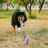 Shetland Sheepdog, Sheltie, Collie. Play Outdoor In Summer Grass Royalty Free Stock Image