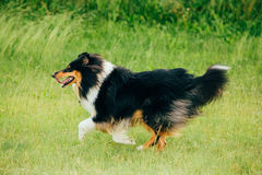 Shetland Sheepdog, Sheltie, Collie. Play Run Outdoor In Summer Grass Royalty Free Stock Photos