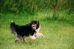 Shetland Sheepdog, Sheltie, Collie. Play Run Outdoor In Summer Grass. At Evening Royalty Free Stock Images