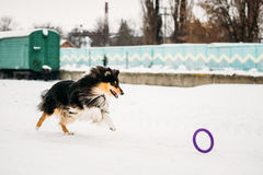 Shetland Sheepdog, Sheltie, Collie Playing With Ring And Fast Running Outdoor In Snow, Stock Photo