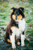 The Shetland Sheepdog, Sheltie, Collie Puppy Outdoor Stock Photo