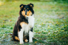 The Shetland Sheepdog, Sheltie, Collie Puppy Outdoor Royalty Free Stock Photo