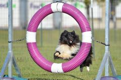 Shetland Sheepdog (Sheltie) at Dog Agility Trial. Bicolor Shetland Sheepdog (Sheltie) Jumping Through a Tire at Dog Agility Trial Stock Photos