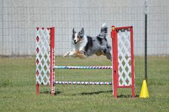 Shetland Sheepdog (Sheltie) at Dog Agility Trial. Blue Merle Shetland Sheepdog (Sheltie) Leaping Over a Winged Jump at Dog Agility Trial stock images
