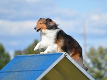 Shetland Sheepdog (Sheltie) at Dog Agility Trial Royalty Free Stock Photos