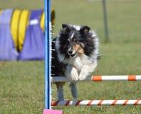 Shetland Sheepdog (Sheltie) at Dog Agility Trial Royalty Free Stock Image