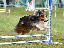 Shetland Sheepdog (Sheltie) at Dog Agility Trial Stock Image