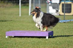 Shetland Sheepdog (Sheltie) at Dog Agility Trial Stock Photo
