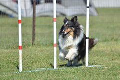 Shetland Sheepdog (Sheltie) at Dog Agility Trial Royalty Free Stock Photography