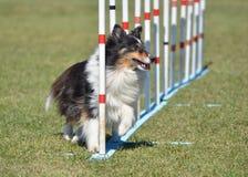 Shetland Sheepdog (Sheltie) at Dog Agility Trial Royalty Free Stock Images