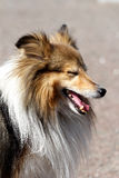 Shetland sheepdog, Sheltie Stock Photo