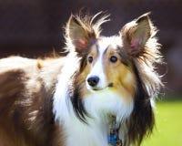 Shetland Sheepdog Sheltie Royalty Free Stock Images