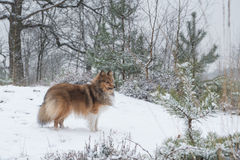 Shetland sheepdog or sheltie standing seen from the side in a snow forest Stock Photos