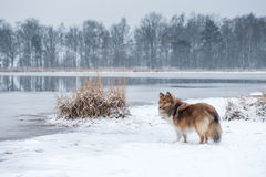 Shetland sheepdog or sheltie standing in a snow landscape Stock Photos