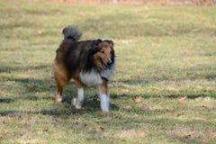 Shetland sheepdog Royalty Free Stock Photos
