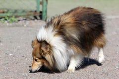Shetland sheepdog, Sheltie  on walk Stock Photos