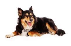 Shetland Sheepdog Shepherd Mix Royalty Free Stock Photos