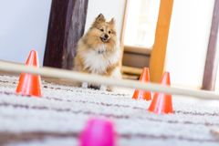 Shetland sheepdog sits in front of a obstracle course at home. A shetland sheepdog sits in front of a obstracle course at home stock photography